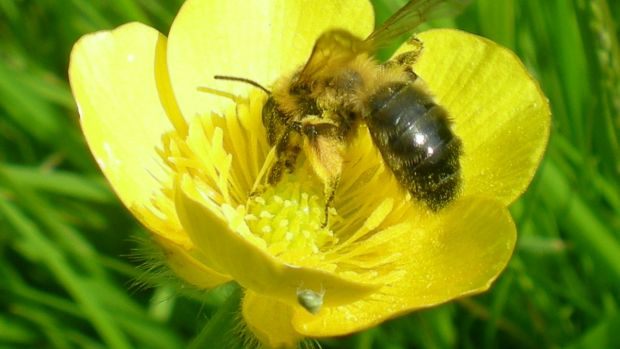 The bee brushes up against the pollen as they drink nectar from flowers