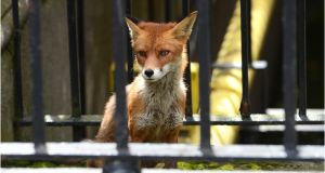 A fox in the grounds of the Garda office on Harcourt Street, Dublin. Photographer: Dara Mac Dónaill