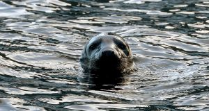 A seal enjoying the high tide in the River Liffey at Wolf Tone Quay in Dublin. Photograph: David Sleator