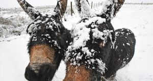 Donkeys covered in snow near Belfast. Photograph: Justin Kernoghan/Photopress