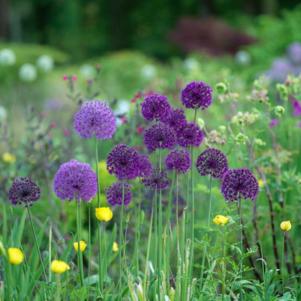 Alliums flowering in June Blake's garden in west Wicklow Photo Credit Richard Johnston