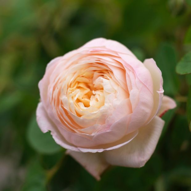 A David Austin rose flowering in an Irish garden. Photo Credit Richard Johnston