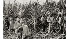Slaves working on sugar cane plantation: a key source of wealth for the West. Photograph: Istock