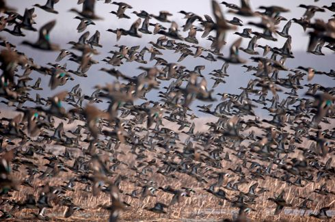 AND THEY'RE OFF: A flock of common teal fly across a wetland on a winter day on the outskirts of Srinagar, India. Photograph: Danish Ismail/Reuters