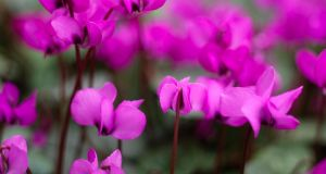 Cyclamen coum, a star of the early spring garden, which flowers from late January until March. Photograph: Richard Johnston