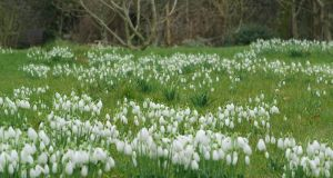 Spinkles of snowdrops flowering in the walled garden of Bellefield House, Co Offaly. Photograph: Richard Johnston