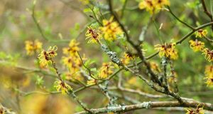 Witch-hazels are one of the most beautiful of flowering shrubs at this time of year. Photograph: Richard Johnston