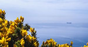 Common gorse is the only species native to much of western Europe. Photograph: Getty Images