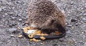 Hedgehog in Louth