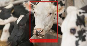 Who said moo? Cainthus uses breakthrough predictive imaging to monitor the health and wellbeing of livestock