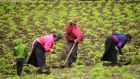 Quichua indigenous people work in a field planted with quinoa in Colta, Chimborazo province in the central Ecuadorian Andes highlands, on January 25, 2017. / AFP / RODRIGO BUENDIA (Photo credit should read RODRIGO BUENDIA/AFP/Getty Images)