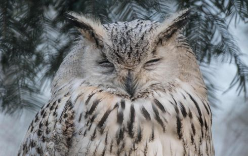 THE EYEBROWS HAVE IT: An Eurasian eagle-owl (Bubo bubo sibiricus) takes a nap at the Tierpark zoo in Berlin. Photograph: Paul Zinken/AFP/Getty Images