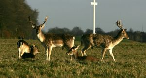 Fallow Deer in the Phoenix Park. Photograph: Cyril Byrne
