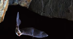 Longest-lived bats: may have evolved a unique process to lengthen their chromosomes without inducing cancer, which may keep them young. Photograph: Olivier Farcy