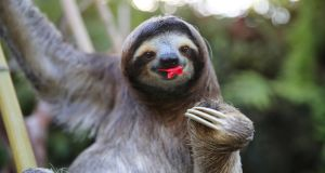 A Sloth eating hibiscus flowers (presumably slowly)