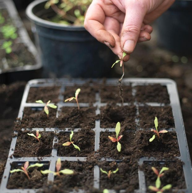 Pricking out young seedlings into modular trays. Photograph: Richard Johnston