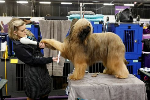 DOG'S LIFE: Jambo, a Briard breed, is groomed on the first day of competition at the Westminster Kennel Club 142nd Annual Dog Show in New York, US.Photograph: Shannon Stapleton/Reuters
