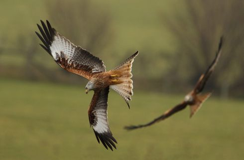 Red Kites, Gigrin Farm, Wales.  Initially the photographer travelled to Wicklow to track Red Kites released around the Avoca area but his interest led to many trips abroad to photograph different birds.