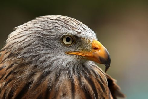 Red Kite (captive bird).  All photographs: Neil O'Reilly - for information on his bird photography workshops contact noreilly59@gmail.com and for more bird pictures see https://www.flickr.com/photos/neiloreilly/