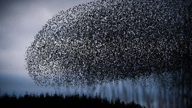 A murmuration of starlings. Photograph: Cyril Byrne