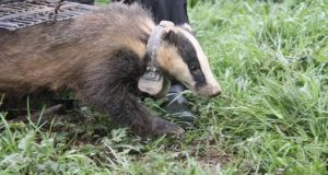"'Mucky Jack' is released back into the wilds of Co Wicklow, part of a study that shows some male badgers are '""super-rangers"" and may help spread  bovine tuberculosis."