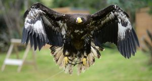 A Stellers sea eagle, at Tayto Park, Ashbourne, Co Meath. Photograph: Dara Mac Dónaill