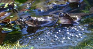 THE YOUNG ONES: A sign of springtime as frogs with frogspawn in a pond near Shankill, Co Dublin. Photograph: Cyril Byrne