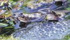 Frogs appear with frogspawn in a pond near Shankill, Co Dublin. Photograph: Cyril Byrne