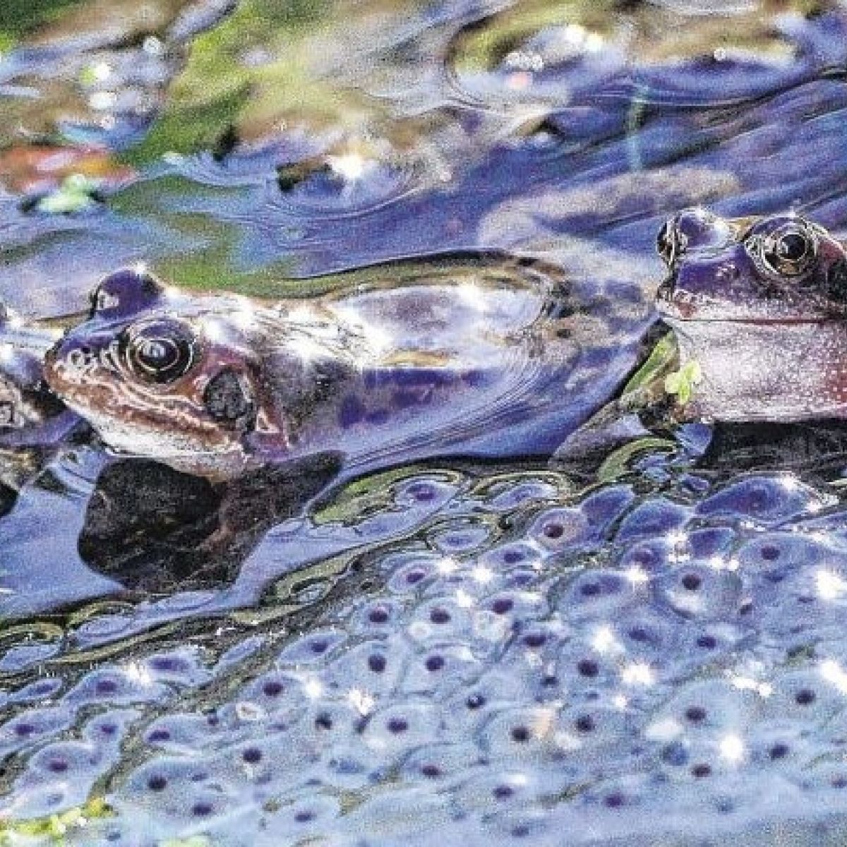 500 pairs of mating frogs under threat in Dublin's Phoenix Park