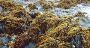 'March is a wonderful time to go seaweed picking'