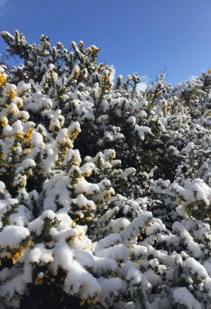 Snowy bushes. Photograph:  Carina  Wolfgramm