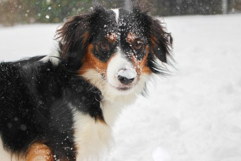 My dog Berry enjoying the snow! Photograph: Louise  Ryab