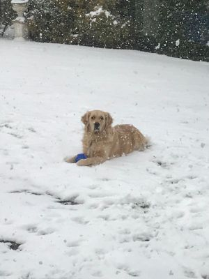Golden retriever Ruby Collins, having a dog-day afternoon, refuses to come out of the snow in Kilkenny. Too much fun! Photograph: Human owners Pat and Ana Collins