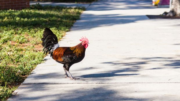 Even the feral chickens are wild on Key West and you will often jump out of your skin when a cock screeches behind you.