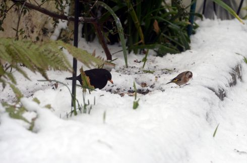 A blackbird and a goldfinch foraging in Sandymount, Dublin. Photograph: Frank Miller / The Irish Times
