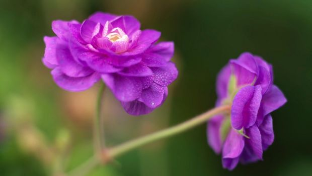 Perennial geraniums or cranesbills come in a wide variety of colours and sizes. Photograph: Richard Johnston