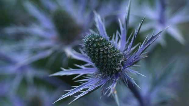The steely-blue flowers of perennial eryngiums. Photograph: Richard Johnston