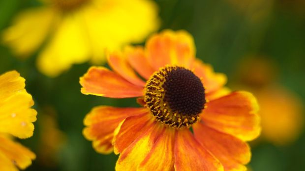 Heleniums are great perennials for late summer/autumn colour. Photograph: Richard Johnston