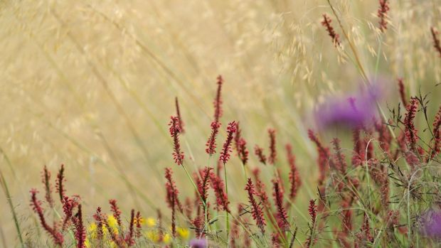 Scarlet-flowered persicaria blooming beneath a haze of golden Stipa gigantea Photograph: Richard Johnston