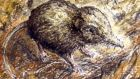 The pygmy shrew: A   York University researcher  was surprised to find that a small sample of our pygmy shrews shared a distinctive genetic lineage with those of Andorra. Drawing: Michael Viney