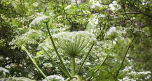 Giant hogweed. Photograph: KB Wills/iStock/Getty