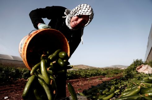 A Palestinian woman farmer collects cucumbers at a farm in Tubas, in the occupied West Bank. Photograph: Raneen Sawafta / Reuters