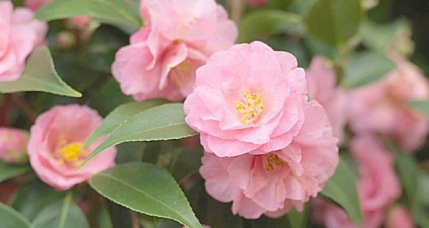 Camellias are bursting into bloom in pink red cream and yellow camillias small flavoursome leaves are the product of an evergreen shrub mightylinksfo