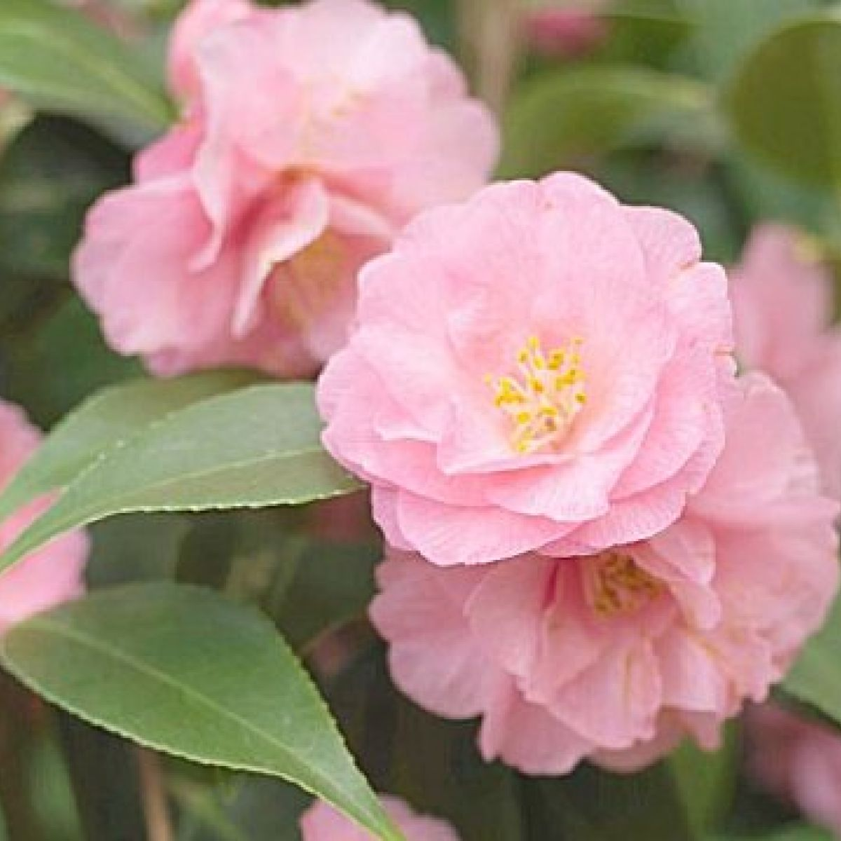 Camellias Are Bursting Into Bloom In Pink Red Cream And Yellow