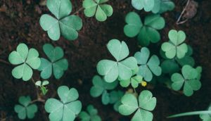 Writing about shamrock in the 1980s, the Irish botanist Charles Nelson said that shamrock was nothing more and nothing less than young clover