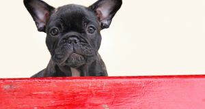 A file photograph of a French Bulldog, the breed of dog that died on a United Flight. Photograph: iStock
