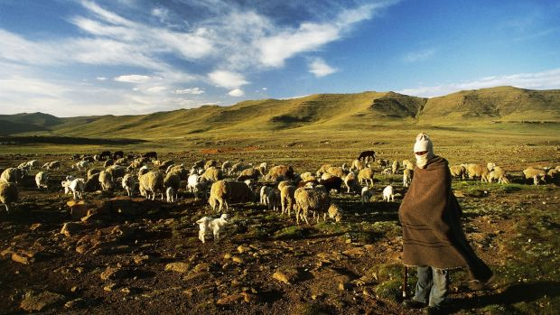 A shepherd with sheep grazing on the slopes of the Sani Pass, Mokhotlong district, Lesotho. Photograph: Getty Images
