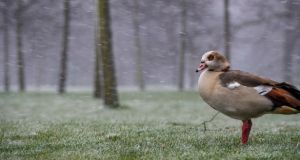 Snow falls around an Egyptian goose in Kensington Gardens, Hyde Park, during a weather front that has been dubbed the mini beast from the east on Saturday. Photograph: Getty Images