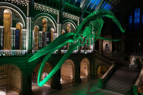 The 25.2m Blue Whale skeleton, called Hope, in the Natural History Museum, London. Photograph: Tourism Ireland