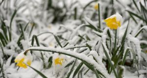 SON OF THE BEAST: Spring daffodils in the snow at Fairview Park, Dublin. Photograph: Dara Mac Dónaill/The Irish Times